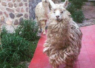 Peru 2017 Llamas